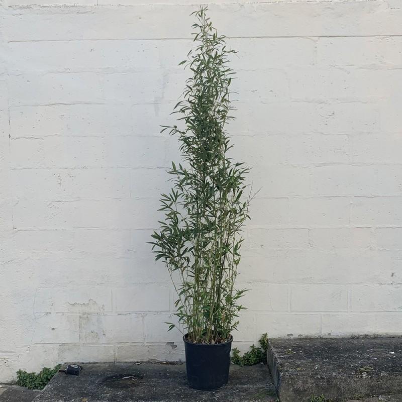 Pot de bambou bissetii - Promofleur