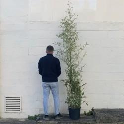 Pot de bambou bissetii - Promofleur - taille