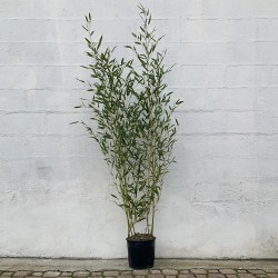 Pot de bambous phyllostachys bissettii - 12 L - Hauteur totale 160/180 cm - Promofleur Persan (1)