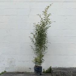 Pot de bambous phyllostachys bissettii - 12 L - Hauteur totale 160/180 cm - Promofleur Persan (3)