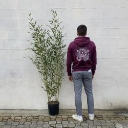 Pot de bambous phyllostachys bissettii - 12 L - Hauteur totale 160/180 cm - Comparatif taille - Promofleur Persan (1)