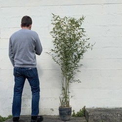 Pot de bambous phyllostachys bissettii - 12 L - Hauteur totale 160/180 cm - Comparatif taille - Promofleur Persan (2)