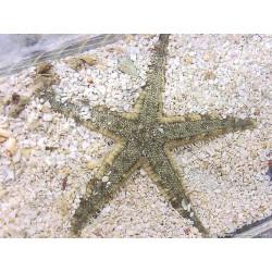 Etoiles de mer archaster typicus