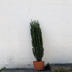 Ilex crenata 160 cm avec le...