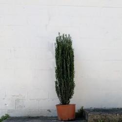 Ilex crenata 160 cm avec le pot -Promofleur