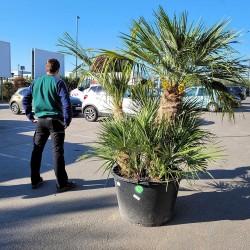 Palmier Nain Chamaerops Humilis Multi-troncs - Hauteur totale 220 cm avec le pot - Comparatif taille - Promofleur Persan