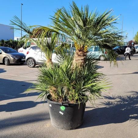 Palmier Nain Chamaerops Humilis Multi-troncs - Hauteur totale 220 cm avec le pot - Promofleur Persan