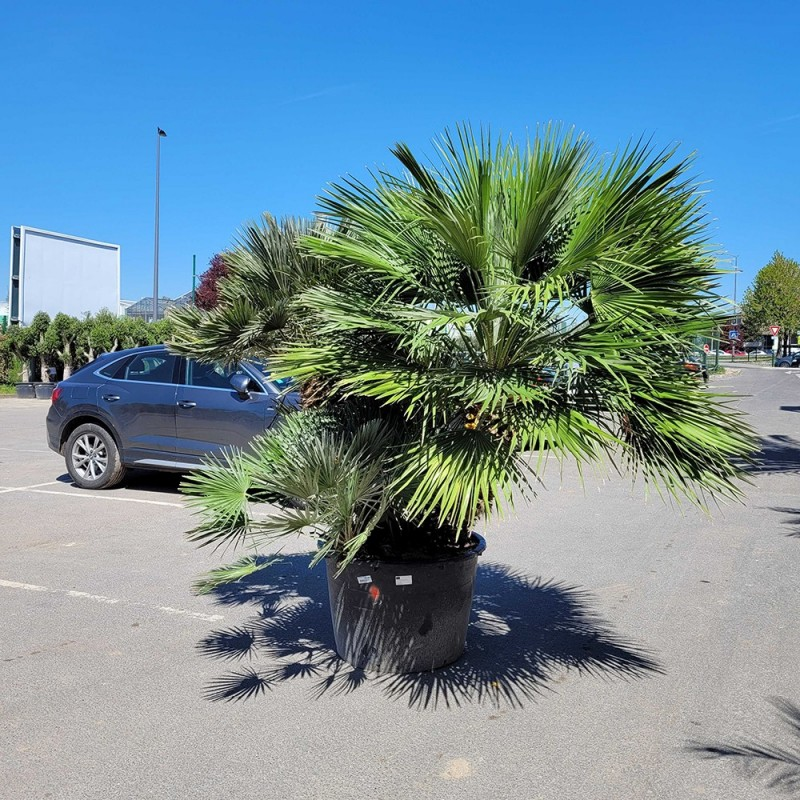 Palmier Nain Chamaerops Humilis Multi-troncs - Hauteur totale 250 cm avec le pot - Grand stipe : 90 cm - Promofleur Persan