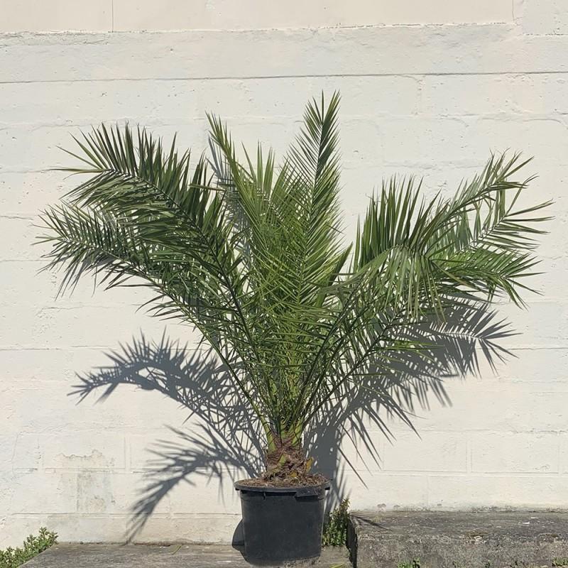 Palmier Phoenix Canarien Hauteur Totale 180 cm Stipe 20 cm - Promofleur