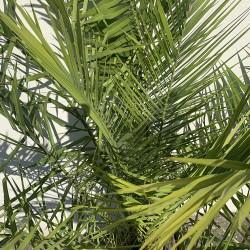 Palmier Phoenix Canarien Hauteur Totale 180 cm Stipe 20 cm - Promofleur - détail
