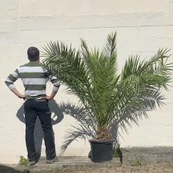 Palmier Phoenix Canarien Hauteur Totale 180 cm Stipe 20 cm - Promofleur - taille