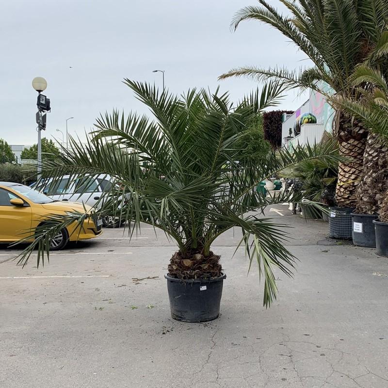 Palmier Phoenix Canarien Hauteur 300/350 cm stipe 40/45 cm - Promofleur Persan