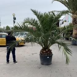 Palmier Phoenix Canarien Hauteur 300/350 cm stipe 40/45 cm - (comparaison taille) - Promofleur Persan