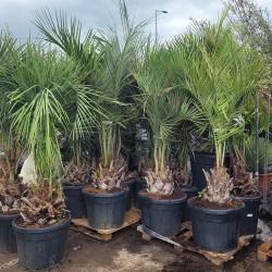 Ensemble de Palmiers Butia Capitata hauteur avec pot 200/220 cm - PROMOFLEUR