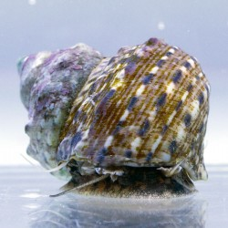 Mollusque turbo fluctuosus