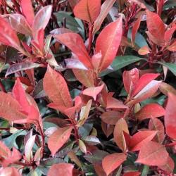 Gros plan sur photinia carré rouge compacta - Promofleur Persan