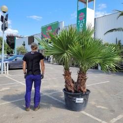 Palmier Washingtonia Robusta  Hauteur Totale 220 cm Grand Stipe 70/80 cm - Promofleur Persan (comparatif taille)