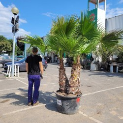 Palmier Washingtonia Robusta  Hauteur Totale 240/250 cm Grand Stipe 120/140 cm - Promofleur Persan (comparatif taille)