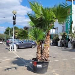 Palmier Washingtonia Hauteur Totale 250 cm Stipe 140 /150 cm
