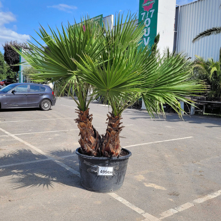Palmier Washingtonia Robusta  Hauteur Totale 220 cm Grand Stipe 70/80 cm - Promofleur Persan