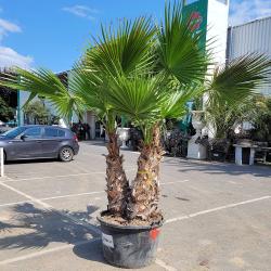Palmier Washingtonia Robusta  Hauteur Totale 240/250 cm Grand Stipe 120/140 cm - Promofleur Persan