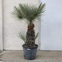 Palmier Nain Chamaerops Humilis 'Cerifera' - Promofleur Persan (3)