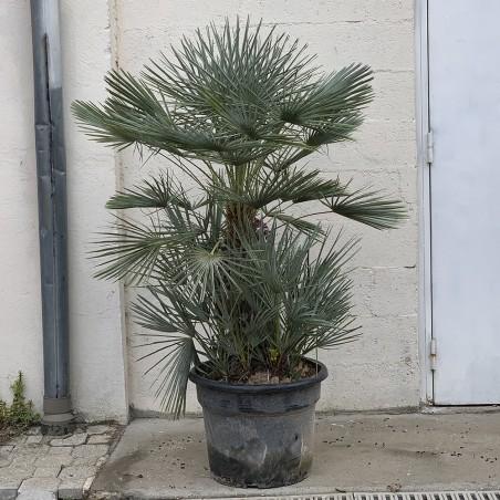Palmier Nain Chamaerops Humilis 'Cerifera' - Promofleur Persan (1)