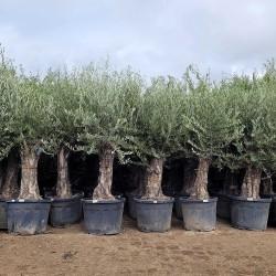 Ensemble d'oliviers 50 - 70 ans H.230 / 250 cm tronc vieilli feuillage abondant - Promofleur Persan