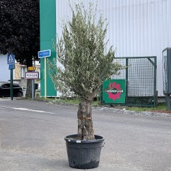 Olivier 50 - 70 ans H.230 / 250 cm tronc vieilli feuillage abondant - Promofleur Persan