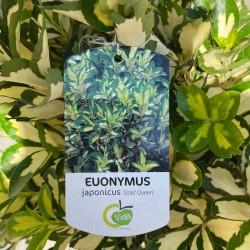 Étiquette + zoom feuillage Fusain du Japon - Euonymus japonicus 'Gold Queen' - Promofleur Persan