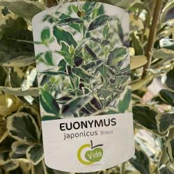 Fusain du Japon - Euonymus...