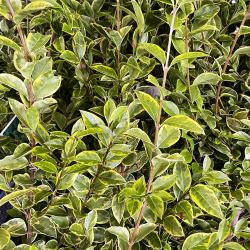 Zoom du feuillage Ligustrum Ovalifolium 'Aureum' - Promofleur Persan (haie)