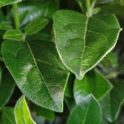 Zoom sur le feuillage du Viburnum Tinus (Laurier-tin) Hauteur totale 70 cm avec le pot - Promofleur Persan