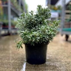 """Pieris Japonica """"Little Heath"""" / Andromède du Japon - Promofleur Persan"""