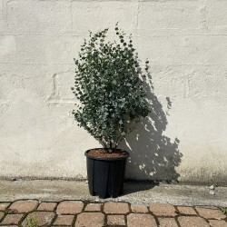 Eucalyptus 'gunnii azura' Hauteur 100 cm avec pot - Promofleur Persan