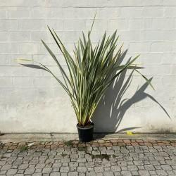 Phormium Hauteur 190 cm avec pot -  Promofleur Persan