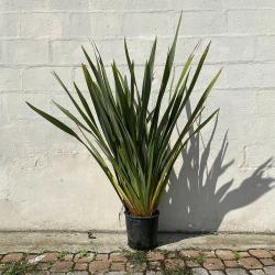 Phormium tenax Variegata Hauteur 150 cm avec pot - Promofleur Persan
