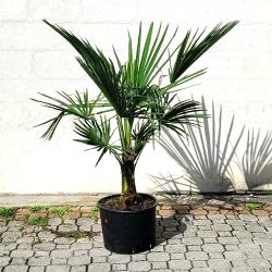 Palmier Trachycarpus Fortunei H.140 cm Stipe 30/40 cm - Promofleur Persan