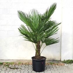 Palmier Trachycarpus Fortunei H. 200 cm Stipe 50/70 cm - Promofleur Persan