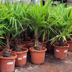 Palmier Trachycarpus Fortunei H.120 cm Stipe 20/30 cm - Promofleur Persan