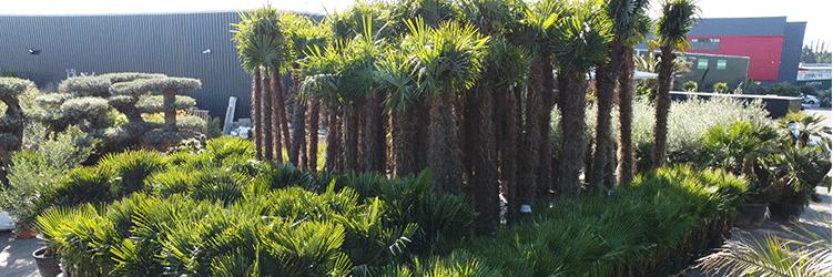 Notre sélection de palmiers